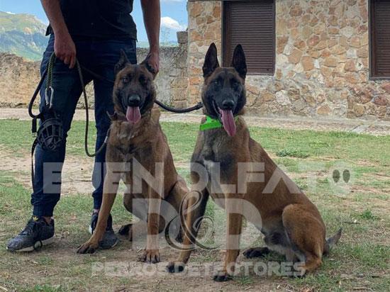 2 Perros detectores sentados