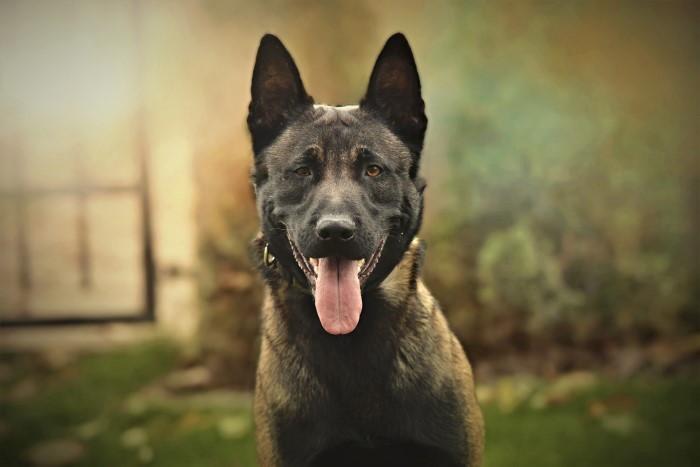 La raza pastor belga malinois es la más elegida para el adiestramientos canino