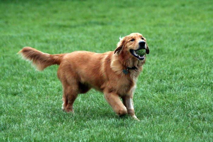 Los perros golden retriever son también muy fáciles de entrenar