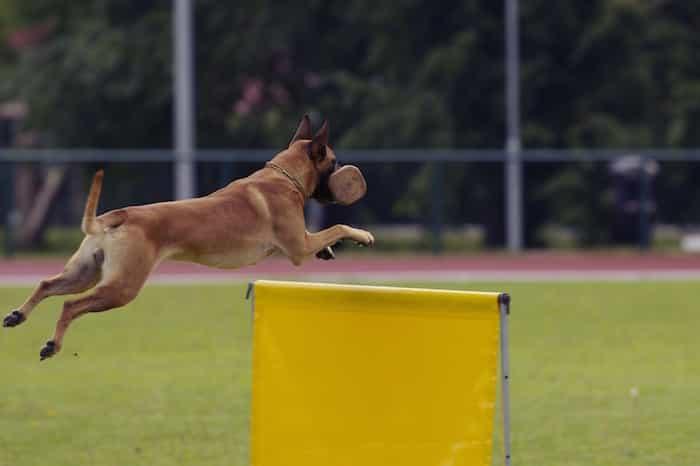 Rutinas de trabajo de un perro belga malinois