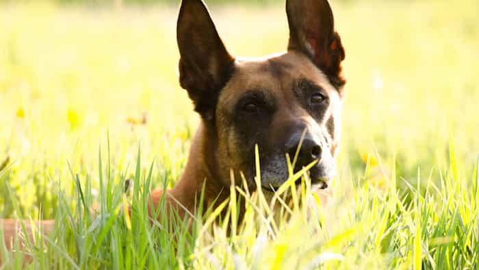 Características de un perro de la raza malinois